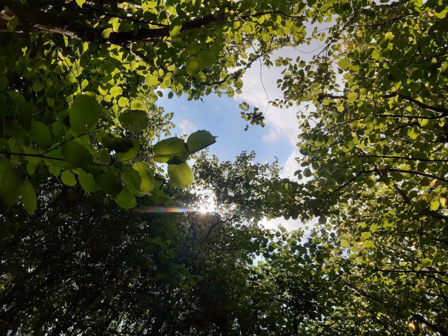 looking beyond the summer hazel canopy at Bramblewood